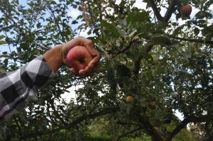 Le pédoncule se détache naturellement de l'arbre et reste sur la pomme.