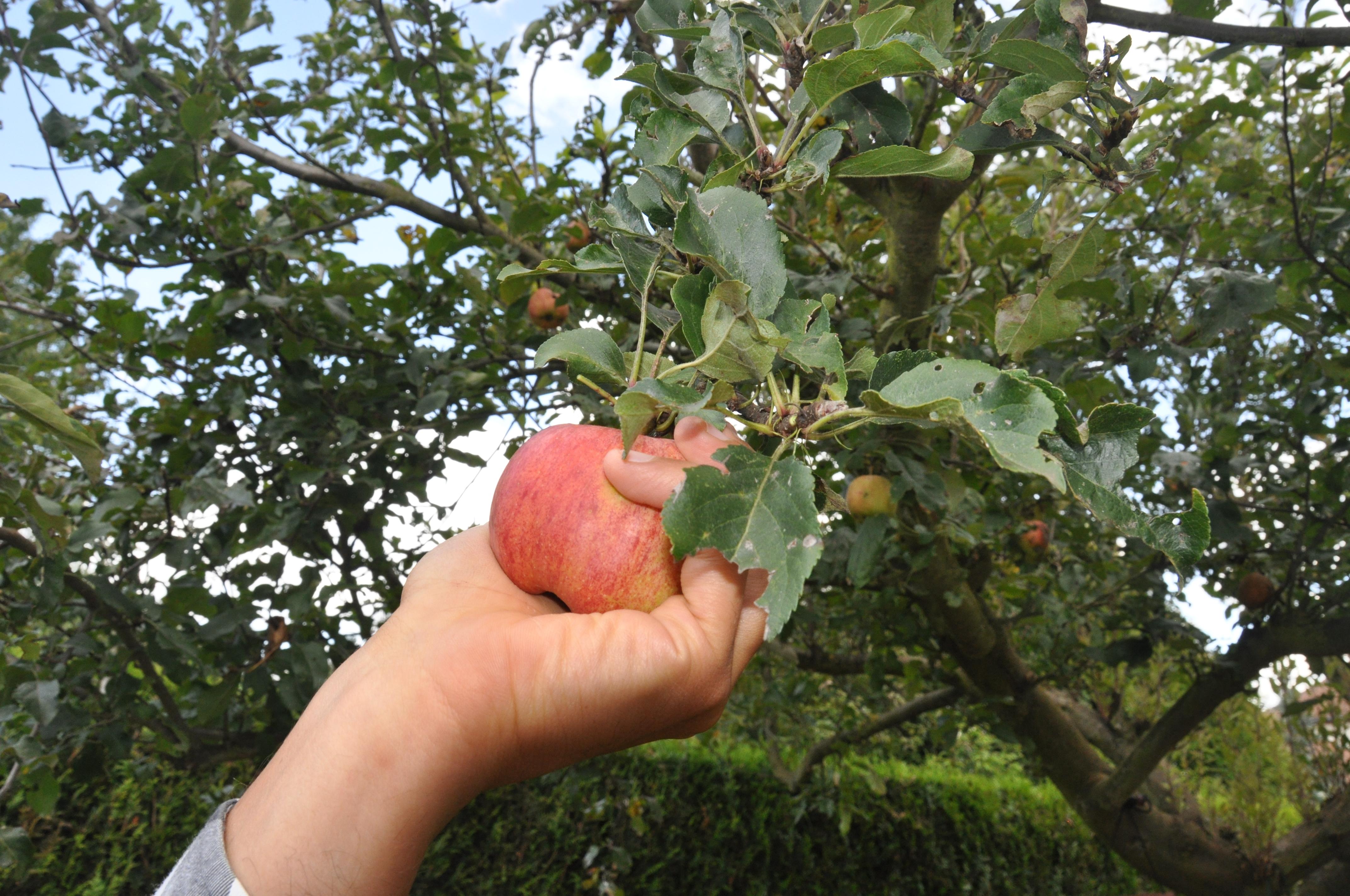 Comment bien cueillir ses pommes la cabane jus - Comment conserver des pommes coupees ...